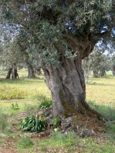 Portugal olive tree