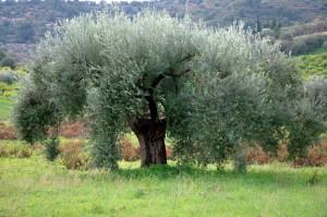 Sicilian olive tree