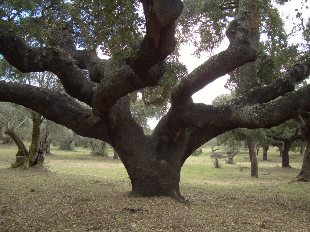 Old Cork Oak Tree - Aqueduct Evora