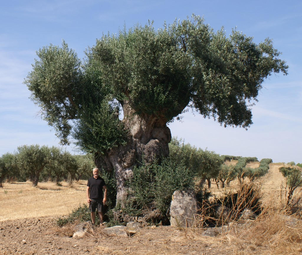 grandmother olive tree