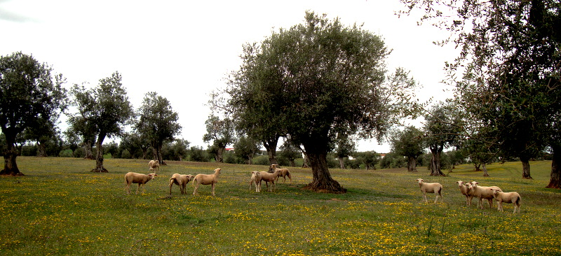 Olive grove with sheep
